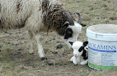 Frances, the Easter lamb.